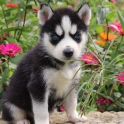 Copy (2) of i-have-beautiful-blue-eyes-grey-black-siberian-husky-puppies-for-sale-658582-3_800X600
