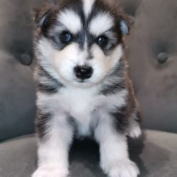 stunning-f2b-pomsky-puppies-licensed-breeder-5ccf90568f092 - Copy