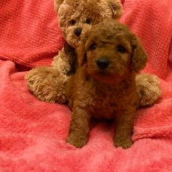 toy-cavapoo-deep-red-puppies-dna-tested-dad-5daa3662c4715