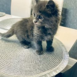 maine-coon-kittens-for-sale-5dcb1b6c293f1 (1)