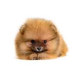mini-pomeranian-puppies-for-sale
