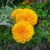 63337279-marigold-flowers-mexican-marigold-aztec-marigold-on-flowerbed