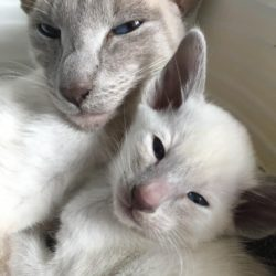 gccf-reg-siamese-and-oriental-kittens-for-sale-5e367bcc03130