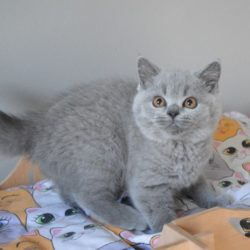 british-shorthair-blue-kittens-as-pets-only-5d035d8c92bc3