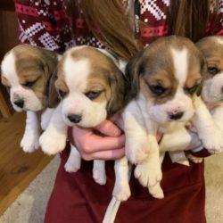 Copy of kc-reg-tri-colour-beagle-pups-5c576f3ba241c - Copy