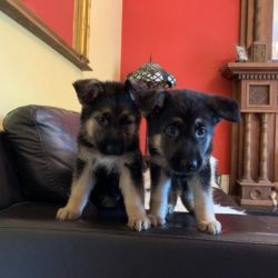 german-shepherd-puppies-5d3768ca83d90