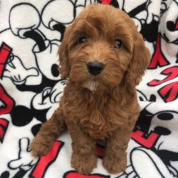 stunning-red-cockapoo-pups-for-sale-5ce669df042a6