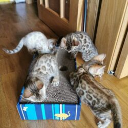bengal-kittens-from-bengal-paradise-5f9b2a44be563