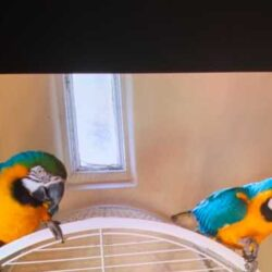 Copy of male-and-female-macaws-for-sale-601d76332372b