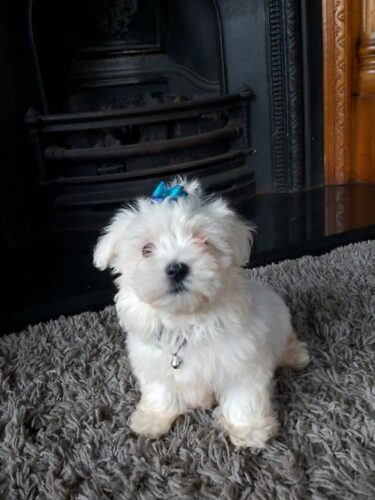 maltese-ready-now-10-weeks-old-5d76542996a8d